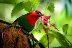 Parrotfinch Royalty Free Stock Photo