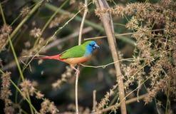 Parrotfinch de cauda rosada Foto de Stock Royalty Free