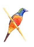 Parrotfinch de cola rosada Fotografía de archivo libre de regalías