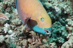 parrotfish zdjęcia royalty free