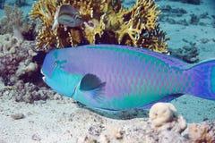 parrotfish Arkivfoton