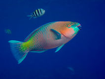 parrotfish Fotografia Stock