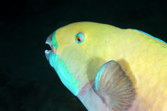 Parrotfish royalty free stock image