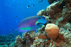 Parrotfish. Red Sea Steephead Parrotfish (Chlorurus gibbus) on a coral reef Royalty Free Stock Images