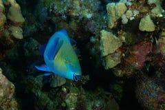 Parrotfish royalty free stock photo