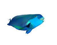 Parrotfish. Red Sea Steephead Parrotfish isolated on white background Royalty Free Stock Images