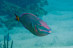 Parrotfish Royalty Free Stock Photography