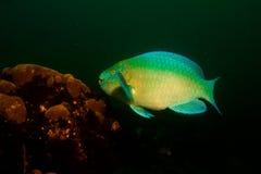 Parrotfish Royaltyfria Bilder