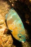 Parrotfish Arkivbilder