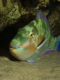 Parrotfish Stock Image