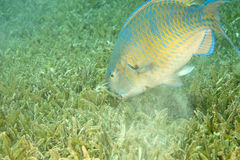 Parrotfish. Taken in Na'ama Bay Stock Photos