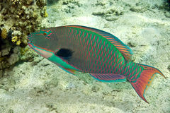 Parrotfish. Taken in Middle Garden Stock Images