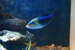 Parrotfish Стоковая Фотография