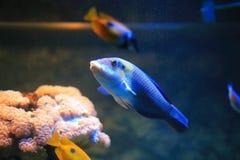 Parrotfish Стоковая Фотография RF