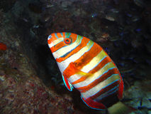 Parrotfish Arkivfoto