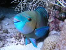 Parrotfish Royalty Free Stock Photo