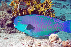 Parrotfish royalty free stock photos