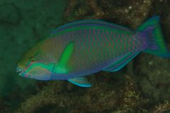 Parrotfish - Andaman Sea Stock Image