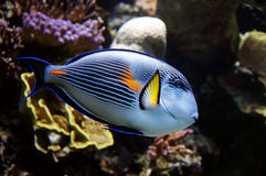 Parrotfish Royalty Free Stock Images