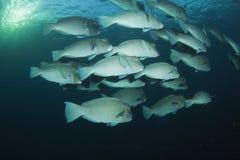 parrotfish bumphead Стоковые Изображения