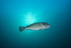 parrotfish bumphead Стоковое Изображение