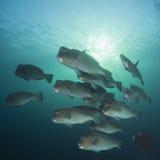 parrotfish bumphead Стоковые Фотографии RF