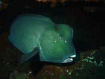 Parrotfish Bumphead Στοκ εικόνες με δικαίωμα ελεύθερης χρήσης