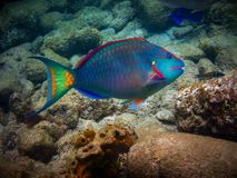 Parrotfish in the Caribbean Sea in Guadeloupe. Photographed during a session of snorkeling Royalty Free Stock Images