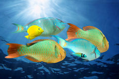 Parrotfish colorful tropical fish under water. Parrotfish, colorful tropical fish with sunlight under water surface,  Caribbean sea Stock Photo