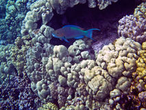 Parrotfish in Coral Cave Royalty Free Stock Photo