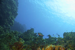 Parrotfish and coral reef Royalty Free Stock Photography