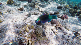 Parrotfish among the corals in the Red Sea Royalty Free Stock Image