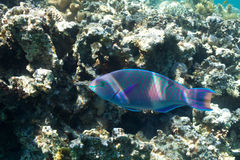 Parrotfish and corals in the sea Stock Image