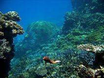 parrotfish czysty wrasse Obrazy Royalty Free