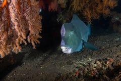 Parrotfish de Bumphead fotografia de stock royalty free