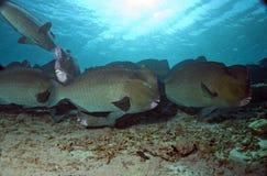 Parrotfish de Humphead imagem de stock