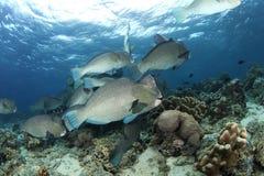 Parrotfish de Humphead Fotos de Stock Royalty Free