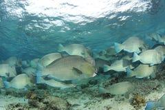 Parrotfish de Humphead foto de stock