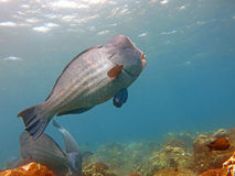 Parrotfish de Humphead dos peixes, muricatum de Bolbometopon Imagens de Stock