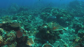 Parrotfish de Humphead e uma tartaruga de Hawksbill em um recife de corais 4K filme