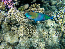 Parrotfish do Bullethead em um recife coral. Scarus Fotografia de Stock