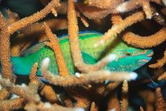 Parrotfish do sono fotografia de stock royalty free