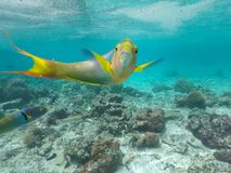 Parrotfish fish looking at the camera in a coral reef. Male Parrotfish looking at the camera in a coral reef in Rarotonga, Cook Islands Stock Image