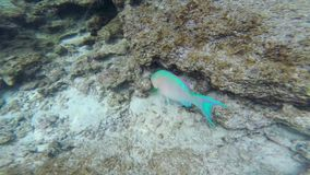 Parrotfish in Galapagos National Park, Ecuador stock video footage