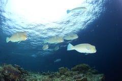 Parrotfish Humphead Стоковое Фото