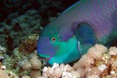 Parrotfish i det röda havet för de. Royaltyfri Foto