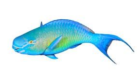 Parrotfish isolado fotos de stock royalty free