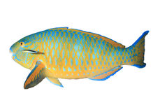 Parrotfish isolated Stock Photo