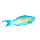 Parrotfish isolated Royalty Free Stock Image