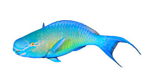 Parrotfish isolated Royalty Free Stock Photos